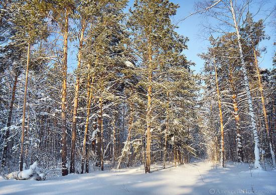 Пейзаж в зимнем бору